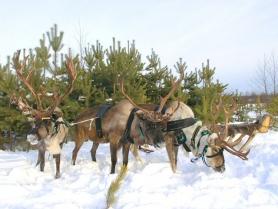Экскурсия на ферму северных оленей